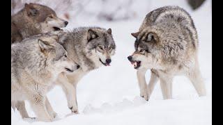 Огромная стая волков идет в Башкирию из Казахстана
