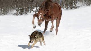 Стая волков окружила лошадь, но то что она сделал просто потрясло весь мир!