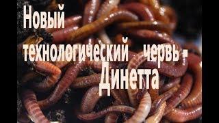 ПАН50. Червь  Динетта Кузбасса. Создание маточника Динетты в Башкирии.