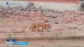 По улицам Уфы разгуливала лиса