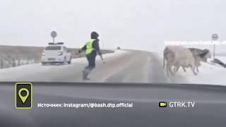 Мог и штраф выписать: в Башкирии инспектору ДПС пришлось регулировать движение коров