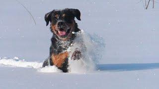 Прыгаем по снегу. РОТВЕЙЛЕР
