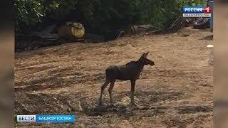 В районе Цыганской поляны в Уфе бегает лосенок