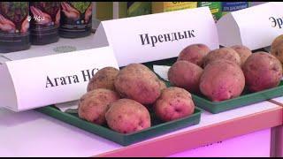 Вкусные и высокоурожайные: ученые Башкирии запатентовали новые сорта картофеля