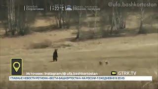 В Башкирии медведи выходят к людям