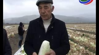В с.Рукель Дербентского районе уже собирают урожай пекинской капусты