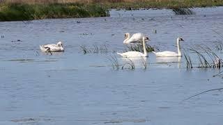 Лебеди в Башкирии | Ураловед
