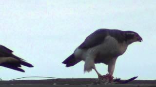 Дюртюли Истребление голубей