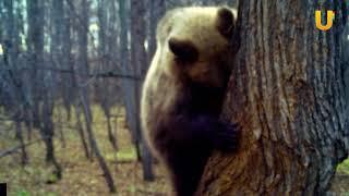 UTV. В нацпарке «Башкирия» медведь воровал мёд у диких пчёл