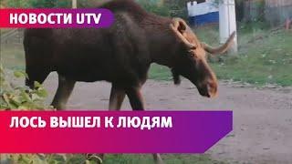 В Башкирии бесстрашный лось прогулялся по улицам деревни