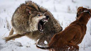 Волки нападают на людей и едят домашних животных в Псковской области