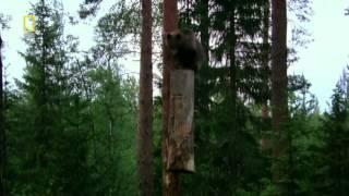 Как медведи добывают мед (Республика Башкортостан)