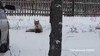 """Лиса охотится на кошек в садах """"Радуга"""" Нефтекамск."""