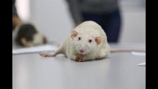 Крыса Мандарин ответила на 5 самых важных вопросов жителей города | Ufa1.RU