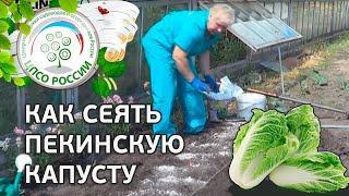 ???? Как посеять капусту пекинскую в грунт. Сажаем пекинскую капусту.
