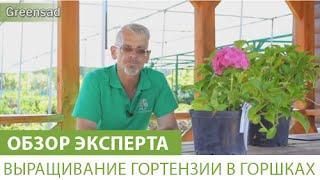Выращивание гортензии в горшках