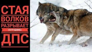 ЧП! Волки переходят границу. Загрызли сотрудника ДПС и порвали собак. Факты и видео.NTV