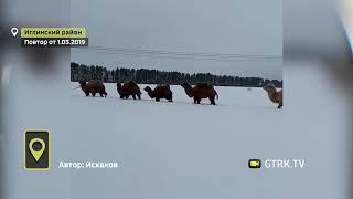 В Башкирии по заснеженному полю прошло стадо верблюдов