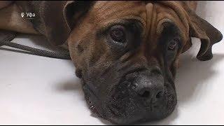 «Собака просто трупиком лежала»: в Уфе ветеринар проводит уникальные операции