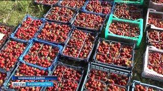Семья из Шаранского района почти полвека выращивает ягоды и собирает невероятный урожай