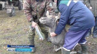 В Ишимбайском районе лесник спас лосенка от разъяренных собак