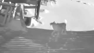 В Якутии волки задрали собак!