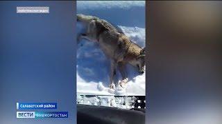 Волчий террор: в Благовещенском районе объявили охоту на хищников
