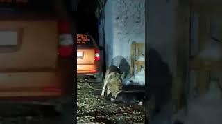Волки в копейске