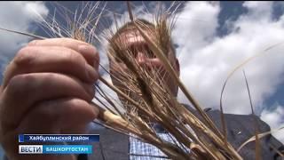 Аграрии Хайбуллинского района подсчитывают убытки от засухи