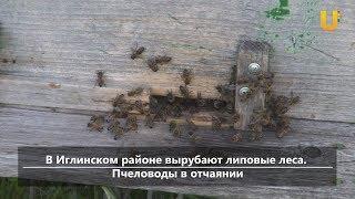 UTV.  Новости центра Башкирии (В Башкирии вырубают липовые леса. Пчеловоды в отчаянии)