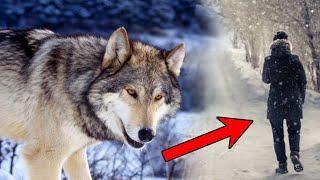 Опасность Волков для Людей Преувеличена