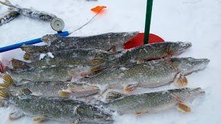 Сколько же ЩУКИ в этой РЕЧКЕ! КЛЮЁТ ОДНА ЗА ОДНОЙ! Рыбалка на ЖЕРЛИЦЫ 2020. Окунь на балансир.