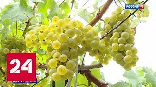 Вкус солнца: на Кубани начали собирать виноград для производства вин и шампанского - Россия 24