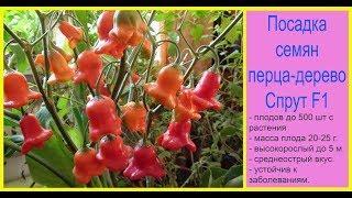 Посадка семян перца-дерево Спрут F1. Сад и огород выпуск 255.
