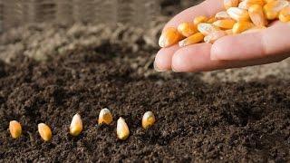 Когда Сажать Кукурузу ?! Посадка Семенами в Открытый Грунт. Выращивание и Уход