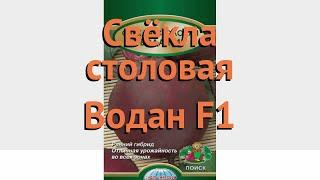 Свекла столовый Водан F1 (vodan f1) ???? свекла Водан F1 обзор: как сажать семена свеклы Водан F1