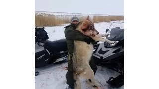 Волки В Казахстане.Жесть.❗????