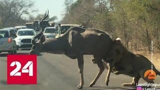 В ЮАР львы научились использовать для охоты машины туристов. Видео - Россия 24