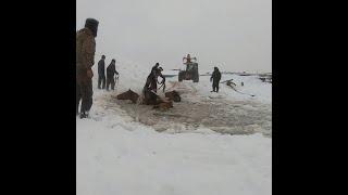 Лошадей вытаскивали из-под льда | Ufa1.RU