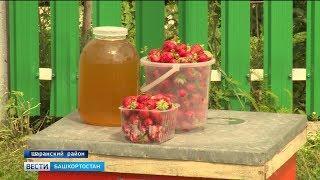 Клубничный рай в башкирской глубинке: в Шаранском районе процветает медово–ягодная станица