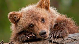 Медвежонок пристально смотрел в глаза леснику, удобно усевшись на ветку..