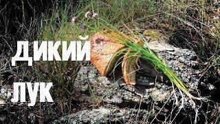 Дикий лук (шнитт, скорода)/  Wild leek