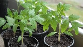 И в саду, и в огороде - 01.04.19 Выращивание рассады томатов