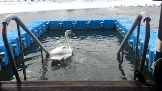 Искалеченному в Уфе лебедю нашли новый дом в Татарстане: видео