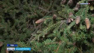 Ночью на Советской площади Уфы установили новогоднюю елку