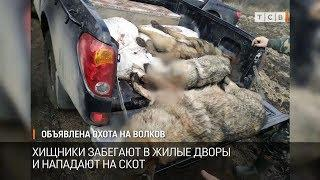 Объявлена охота на волков