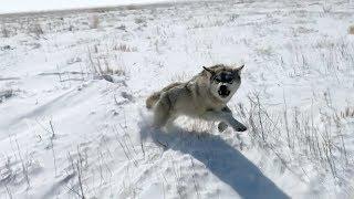 ОХОТА НА ВОЛКОВ 9 -2019 -Wolf hunting (Степные охотники 9)
