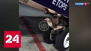 В Шереметьеве приземлился самолет с бакланом в стойке шасси - Россия 24