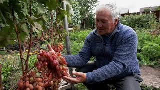 Виноград в Давлеканово