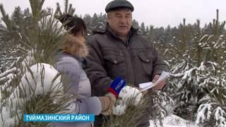 В Туймазинском районе вырубили сосновый лес
